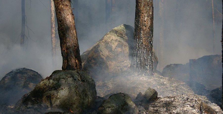 forest-fir900